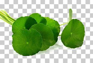 Centella Asiatica Leaf Herb Food PNG