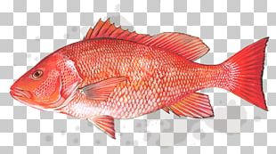 Northern Red Snapper Gulf Of Mexico Fish Products Lane Snapper PNG