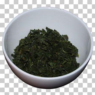 Tea Plant Tieguanyin Nilgiri Tea Bancha PNG