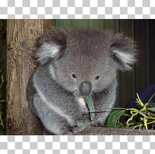 Baby Koala Taronga Zoo Sydney Koala Joeys Koala Hospital PNG