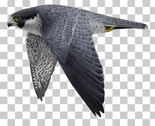 Hawk Buzzard Eagle Fauna Beak PNG