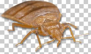 Light Brown Bed Bug PNG