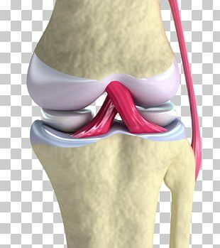 Anterior Cruciate Ligament Knee Joint PNG