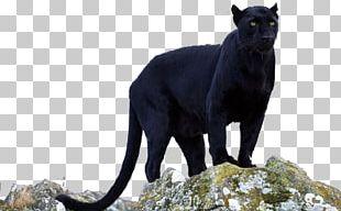 Black Panther Jaguar Leopard Cougar PNG