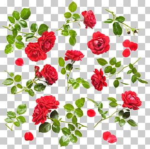Rose Stock Photography Flower Drop PNG