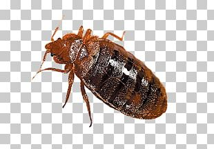 Bed Bug PNG