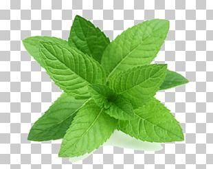 Peppermint Apple Mint Mentha Spicata Leaf Herb PNG