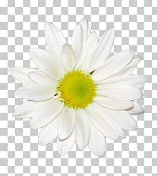 Chrysanthemum Tea PNG