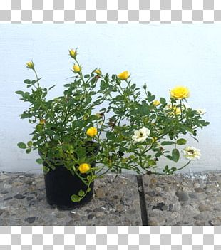 Flowerpot Annual Plant Herb Flowering Plant PNG