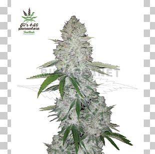 Gorilla Glue Autoflowering Cannabis Cannabis Sativa Seed PNG