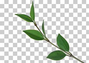 Tree Leaf Computer File PNG