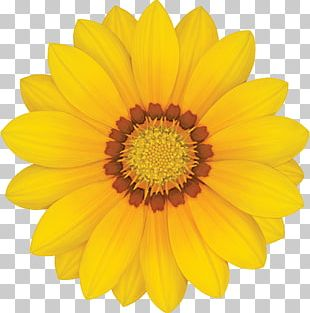 Common Sunflower Yellow Stock Photography Transvaal Daisy PNG