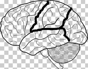 Lobes Of The Brain Diagram Human Brain PNG