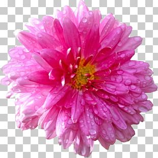Stock Photography Flower Dahlia Common Daisy PNG