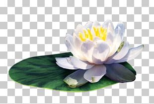 Water Lilies On The Leaves Material PNG
