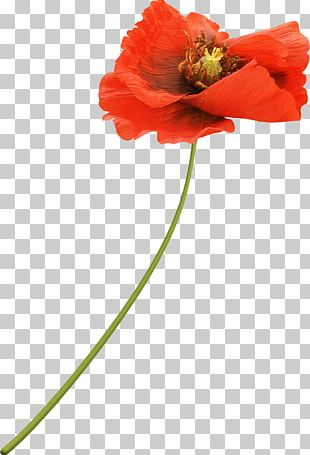 Flower Poppy Red Drawing PNG