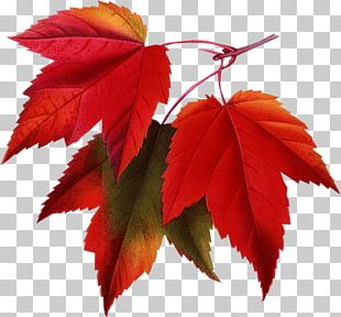 Red Maple Japanese Maple Autumn Leaf Color Autumn Leaf Color PNG