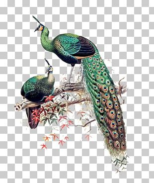 Green Peafowl Asiatic Peafowl Bird Java Phasianidae PNG