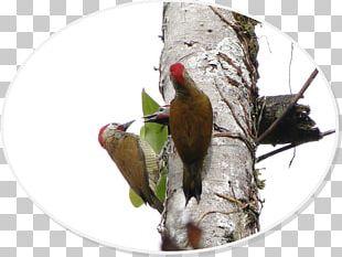Woodpecker Parrot Fauna Beak PNG