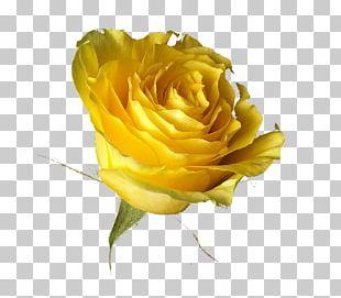 Rose Yellow Desktop Transvaal Daisy PNG