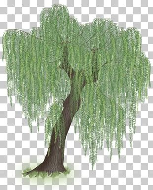 Weeping Willow Tree Trunk Branch PNG