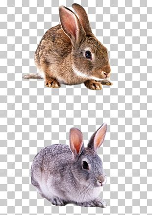 Domestic Rabbit Hare PNG