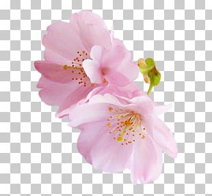 Angels National Cherry Blossom Festival Rose Pink PNG