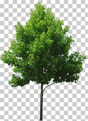 Tree Birch Lindens PNG