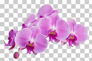 Orchid Purple PNG