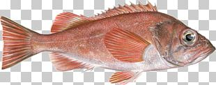 Northern Red Snapper Acadian Redfish Fish Products Rose Fish PNG