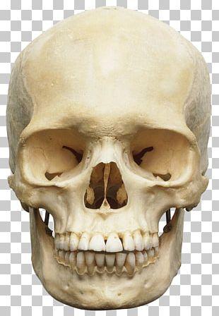 Skull Human Skeleton Anatomy Human Body Orbit PNG