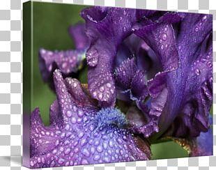 Violet Family Violaceae PNG