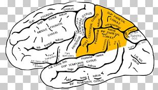 Parietal Lobe Lobes Of The Brain Temporal Lobe Frontal Lobe PNG
