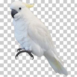 Bird Parrot Sulphur-crested Cockatoo PNG