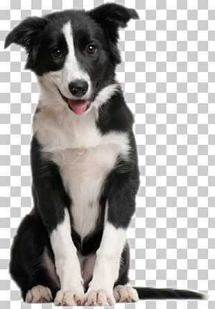 Border Collie Puppy Pet Sitting Cat Horse PNG