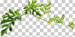 Leaf Watermelon Citrullus Lanatus PNG