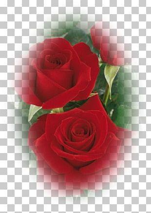 Garden Roses Floribunda Cabbage Rose China Rose Flower PNG