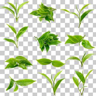 Green Tea Matcha Leaf Stock Photography PNG