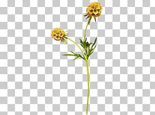 Daisy Family Plant Stem Common Daisy PNG