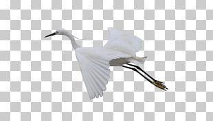 Cygnini Bird Crane Beak Feather PNG