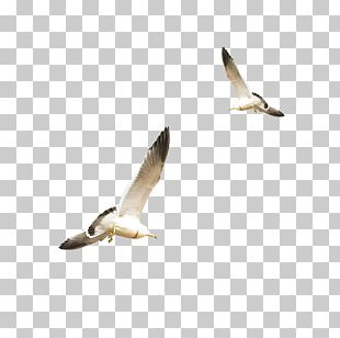 Gulls Flight Bird PNG, Clipart, Animals, Beak, Bird, Bird Flight