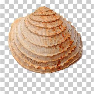 Seashell Fossil Shellfish Sea Snail PNG