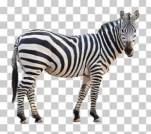 Plains Zebra Stock Photography Fotolia PNG