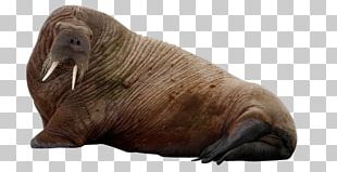 Sea Lion Sea Cows Earless Seal Arctic PNG