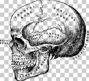 Skull Human Skeleton Anatomy PNG