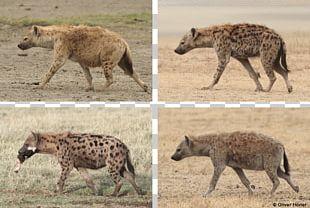 Striped Hyena Valencia Bioparc Cheetah Spotted Hyena PNG