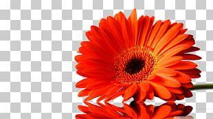 Daisy Family Flower Desktop Gerbera Jamesonii Mobile Phones PNG