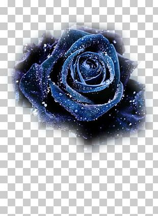Blue Rose Flower Still Life: Pink Roses Black Rose PNG