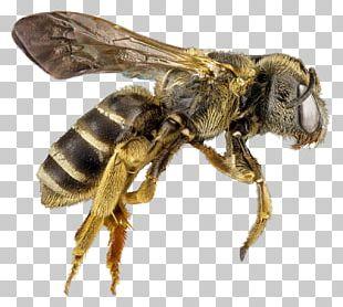 Honey Bee Hornet PNG