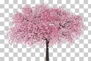 Cherry Blossom Portable Network Graphics Tree PNG